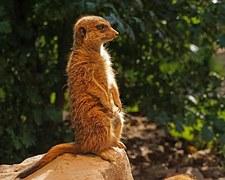 meerkat-1097581__180